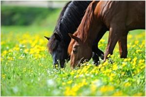 horse Aculifeplastry dla koni